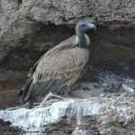 16-37-954-indian-vulture-gyps-indicus-by-nikhildevasar