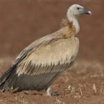 16-37-958-griffon-vulture-gyps-fulvus-by-nikhildevasar