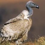 ARKive image GES024031 - Cape vulture