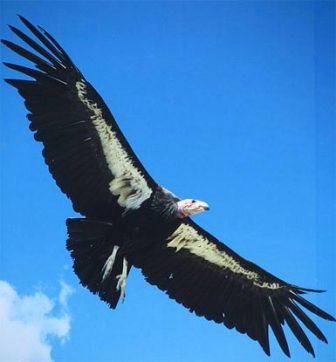 andean-condor-wings-out-white