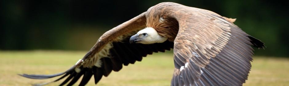 Resultado de imagen de buitre condor