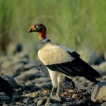 king-vulture_595_600x450